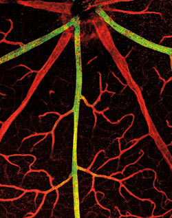 Blood Vessels Mouse Retina